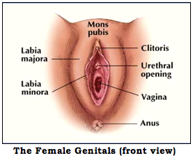 Nerve endings in the clitoris